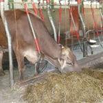 Разведение крупного рогатого скота на мясо как бизнес: нюансы ухода