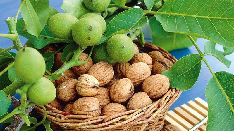 Выращивание грецкого ореха как бизнес
