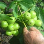 Свой бизнес: выращивание орехов