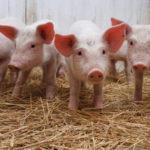 Бизнес-идеи в сельском хозяйстве: свиноводство